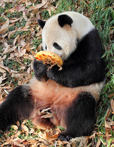 giant_panda_national_zoo_dc