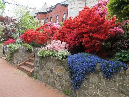 garden_azaleas_rival_arboretuem