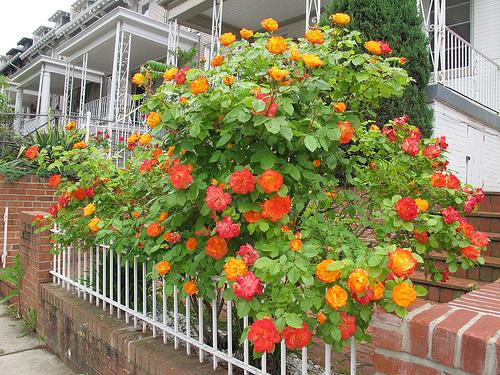 rose_orange