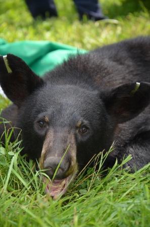 WHS Bear Rescue Photos - Courtesy of the Washington Humane Society (1)