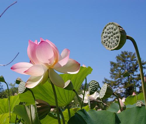 lotus_festival_dc