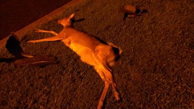 deer_in_dc