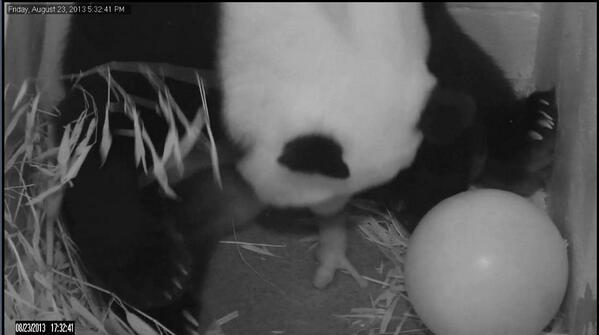 baby_panda_cub_dc