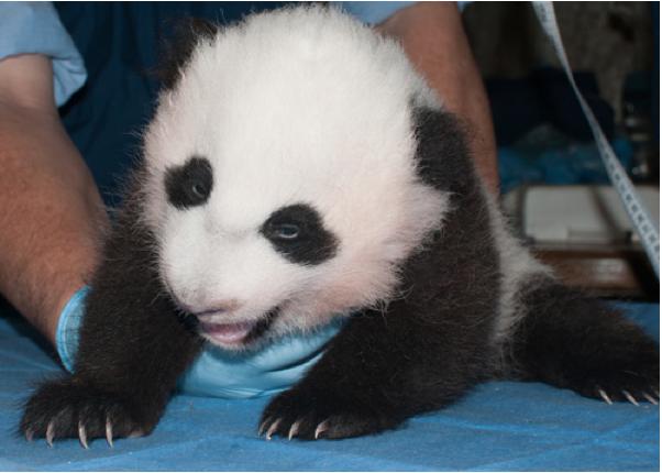 panda_cub