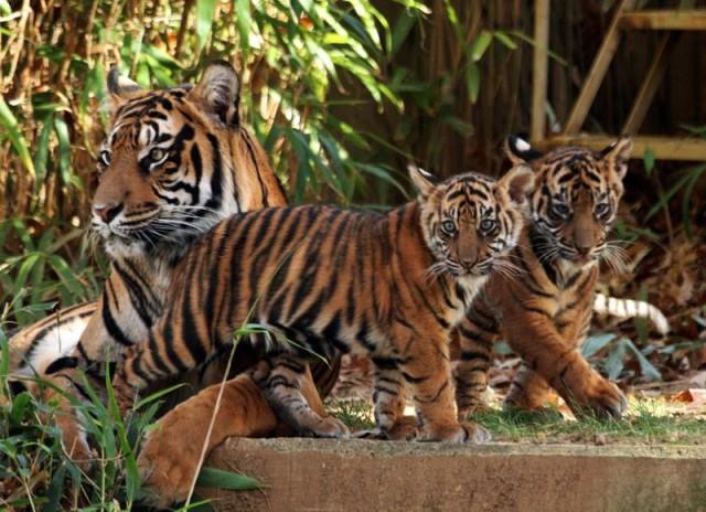 tiger_cubs_dc
