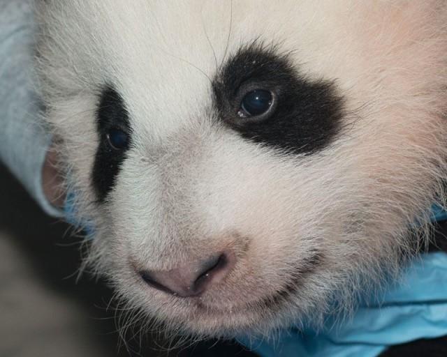 baby_panda_naming_dc_zoo