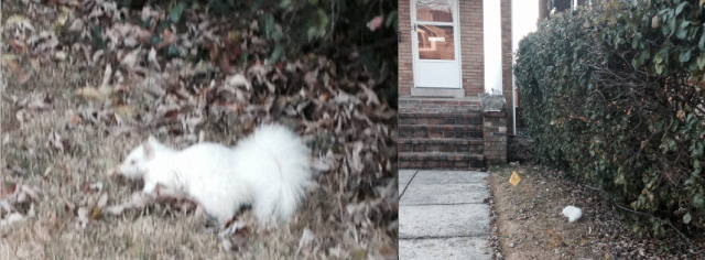 albino_squirrel