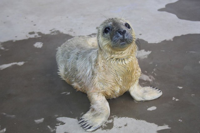 baby_seal