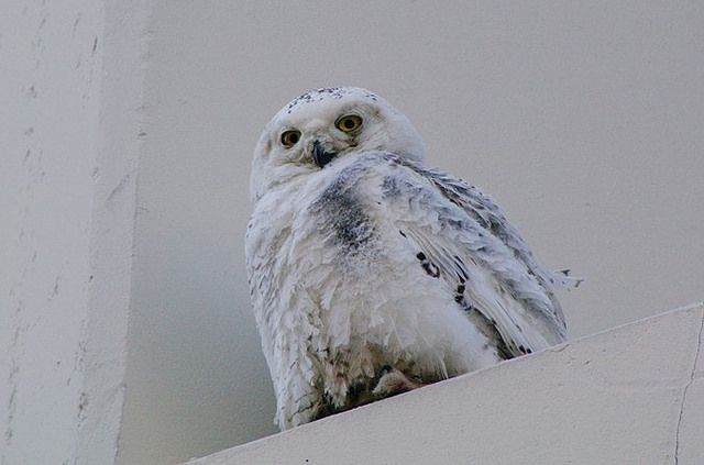 snowy_owl_hit_by_bus_dc