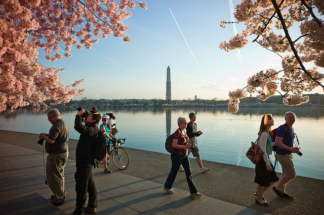 cherry_blossom_peak_bloom_dc