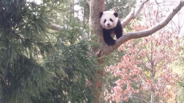 bao_bao_climbs_tree_dc