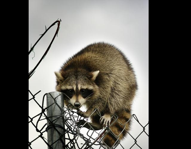 rabid_raccoons_dc