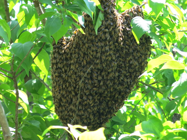 bee_swarm_cleveland_park