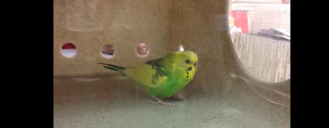 found_parakeet