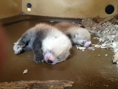 baby_red_pandas