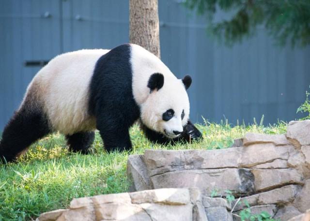 panda_birthday