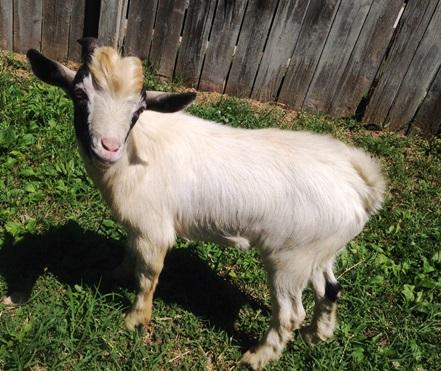 goat_dc