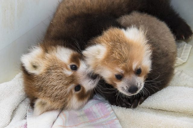 red_pandas