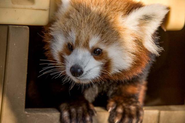 red_panda.png