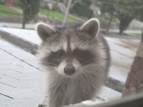 raccoon face