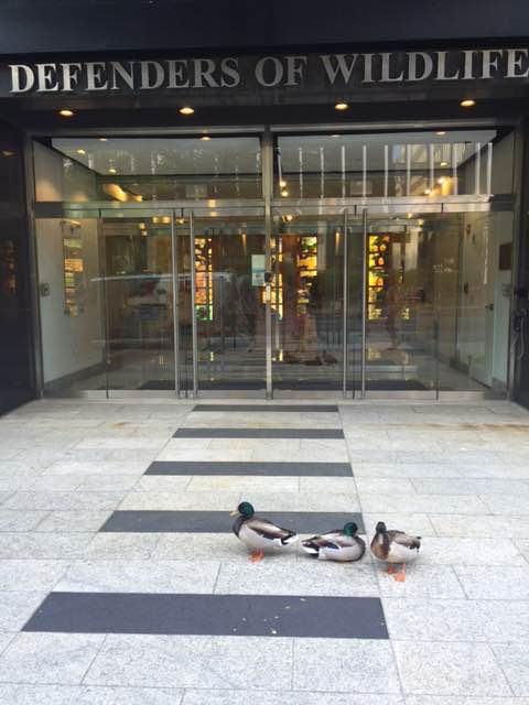 duck defenders