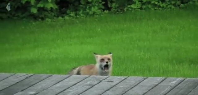 """PoPville » """"beware of the screaming fox and protect your"""