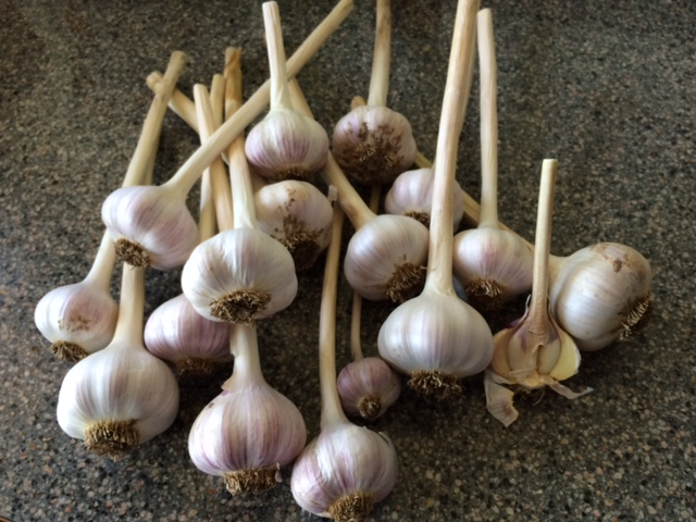 garlic silver spring