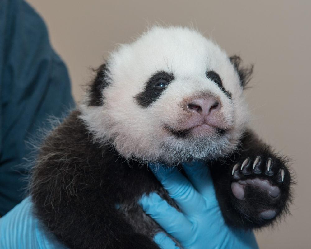 Baby Panda Vet Exam 10/23/13