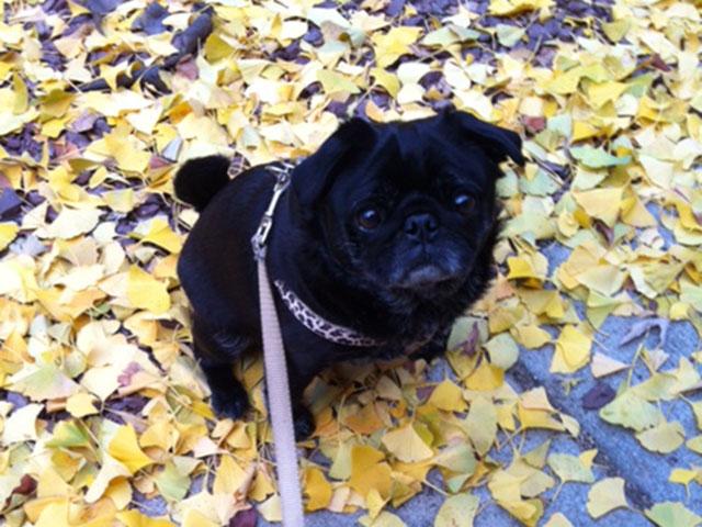 ruby_ginko_leaves