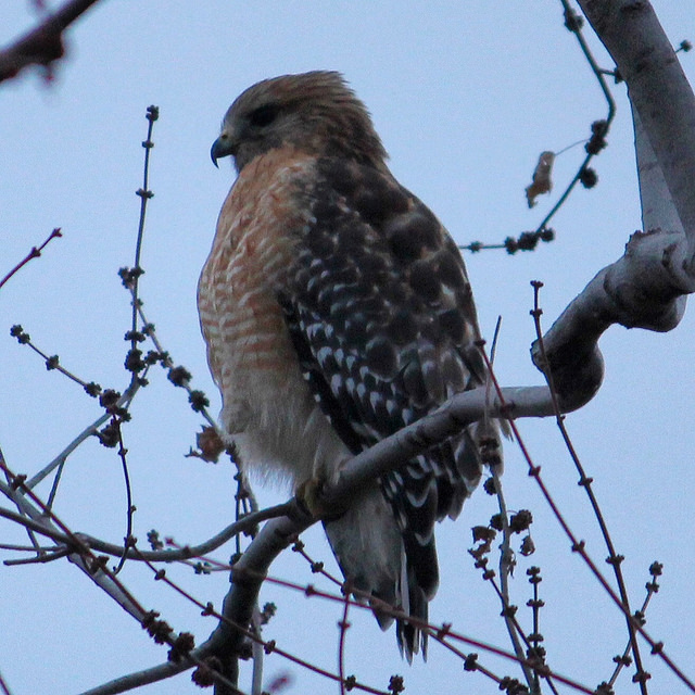 havard hawk