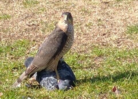 Falcon killing a pigeon. Dupont Circle, DC. Feb 2, 2016