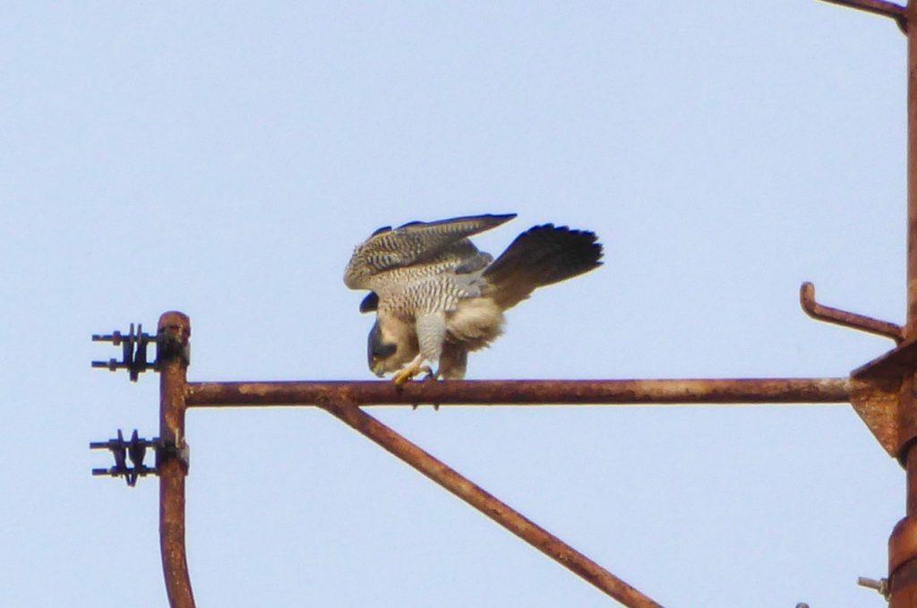 Falcon February