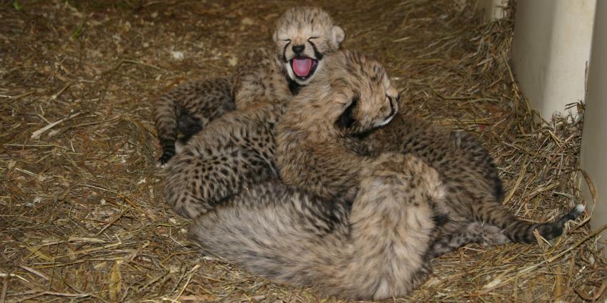 cheetah-cubs_miti-2017-sbi