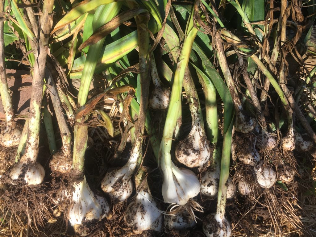 PoPville » Great Garden Haul – Vol. Five – Garlic!