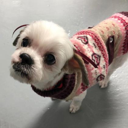 Meet Darling Precious She Is A 12 Year Old Shih Tzu Mix And Just Lovely Gal Gets Along Great With Mellow Dogs Cats