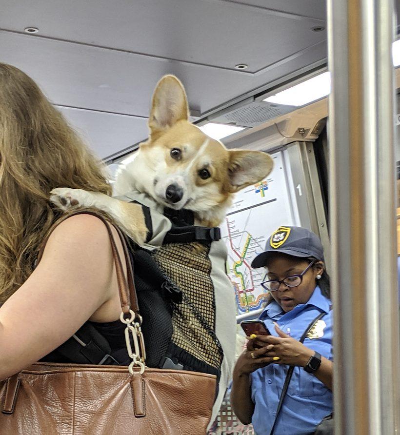 Today in Corgis in Backpacks on Metro*